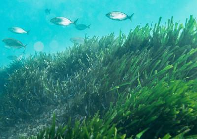 Grup de salpes (sarpa salpa) en la praderia de posidònia