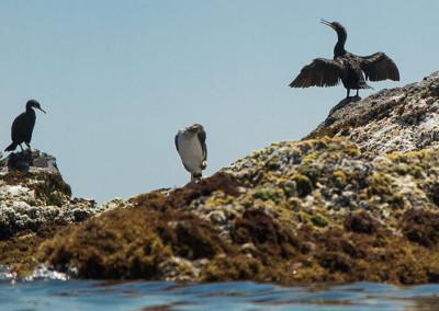 Corbs marins