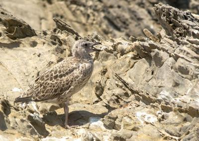 Cria de gavià argentat