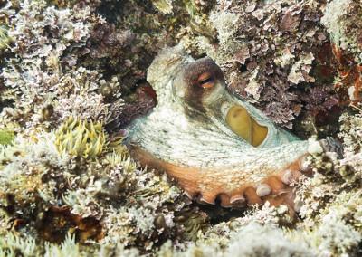 Pop roquer (octopus vulgaris)
